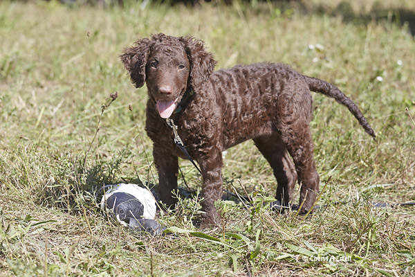 Curly Haired Puppies