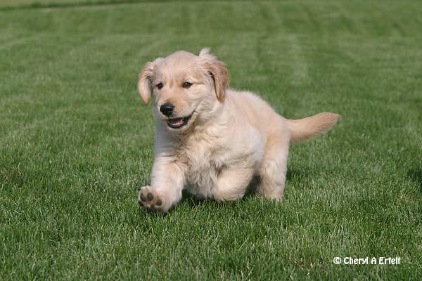 Golden Retriever Puppy...