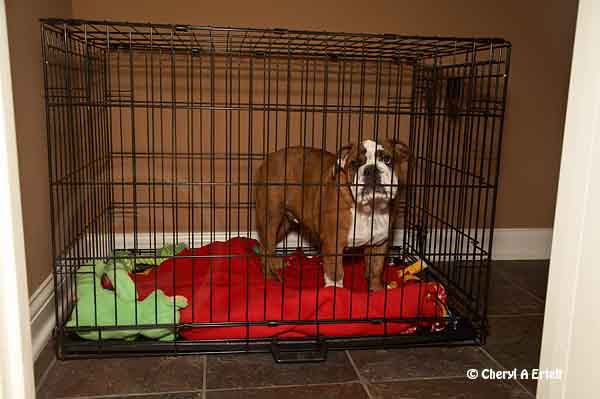 french bulldog crate training crate training bulldog new born dog training 7478